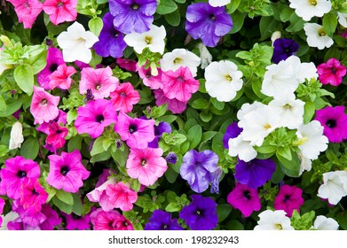 Colorful petunia flowers (background)