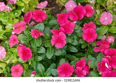 Colorful petunia flowers for background