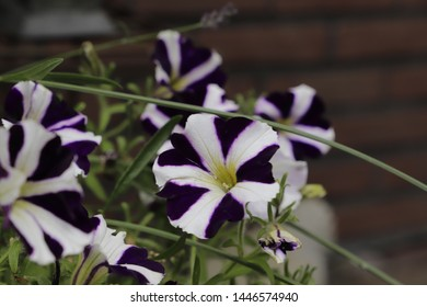 Colorful Petunia flowers blooming in the summer months