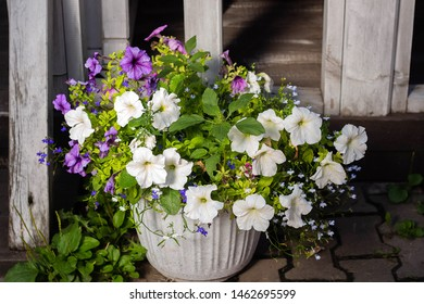 Colorful Petunia flowers as decoration. Image of full colorful Petunia (Petunia hybrida) in a pot