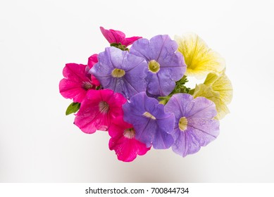 Colorful petunia flowers on white background in the center