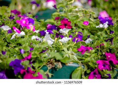 Colorful petunias grow on flower beds in the city