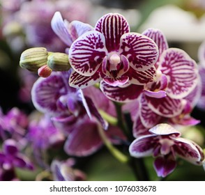 Colorful phalaenopsis orchids of purple and white pattern, with flowers arranged on spike and soft focus