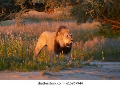 Colorful photo of Panthera leo vernayi,  Kalahari lion, black mane lion in typical environment of Kalahari desert, a few seconds before sunset. Lion in  arid desert landscape. Kgalagadi, Botswana