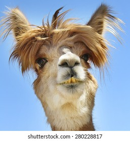 Colorful Photograph Of An Isolated Alpaca With Wild Messy Funny Hair