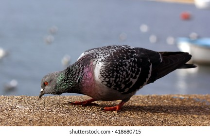 colorful pigeon