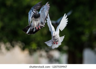Colorful Pigeon in flight at the outskirt of Kabini forest resort.