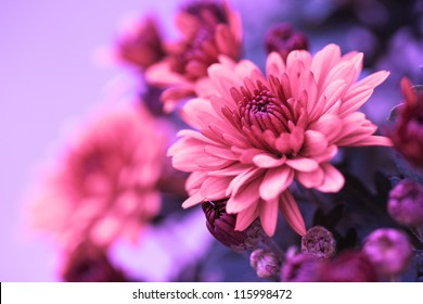 Colorful pink autumnal chrysanthemum background
