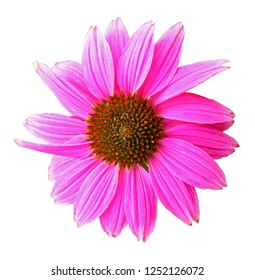 Colorful pink echinacea purpurea flower isolated on white background, closeup