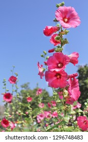 Colorful pink hollyhock flowers  (Alcea rosea) natural patterns blooming on  bright blue sky background