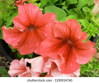 Colorful pink living coral petunia (Petunia hybrida) big flowers on a garden background, close up. Petunias in a garden for background or greeting card. Colorful floral wallpaper.