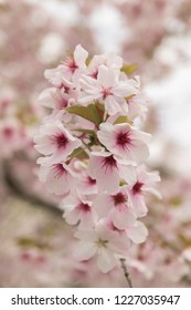 Colorful pink magenta cherry blossom flowers with a blurry background.