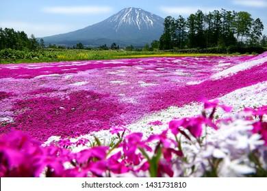 北海道久津山市にある三島の芝桜庭園に青空の色鮮やかなピンクの苔(柴桜、フロックス・スブラタ)と洋亭山(富士北海道山)が選ばれ、前景にぼかした