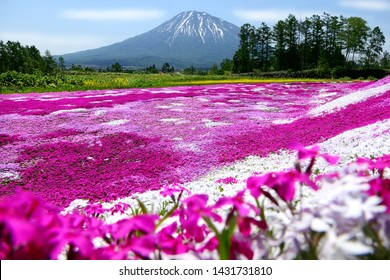 Colorful pink moss (Shibazakura, Phlox Subulata) and Mount Yotei (Mt. Fuji Hokkaido) with blue sky at Mishima's Shibazakura garden in Kutchan town, Hokkaido, Japan, selected focus blur on the foregrou