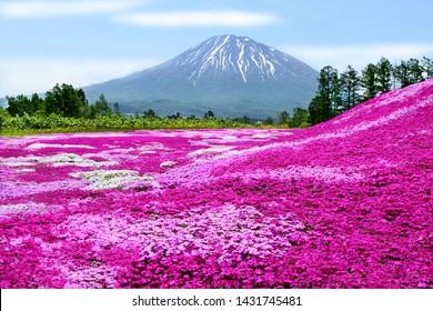 Colorful pink moss (Shibazakura, Phlox Subulata) and Mount Yotei (Mt. Fuji Hokkaido) with blue sky at Mishima's Shibazakura garden in Kutchan town, Hokkaido, Japan