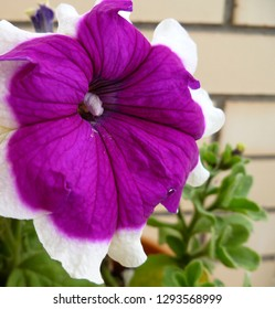 Colorful pink purple petunia (Petunia hybrida) one big flower on brick wall background, close up. Petunias in garden for background or greeting card.