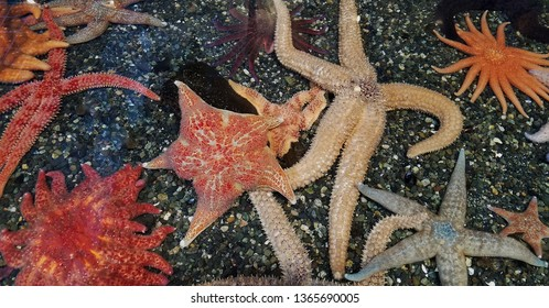 Colorful Pink, Red and White Starfish in Shallow Waters, Top View; Oceans, Oceanography, Learning Ideas