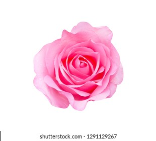 Colorful pink rose flowers head blooming with water drops top view isolated on white background