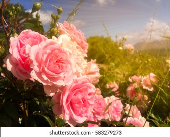 Colorful pink rose in garden with blue sky and clouds background and gold light in morning background in Chart Farm, Cape Town, South Africa