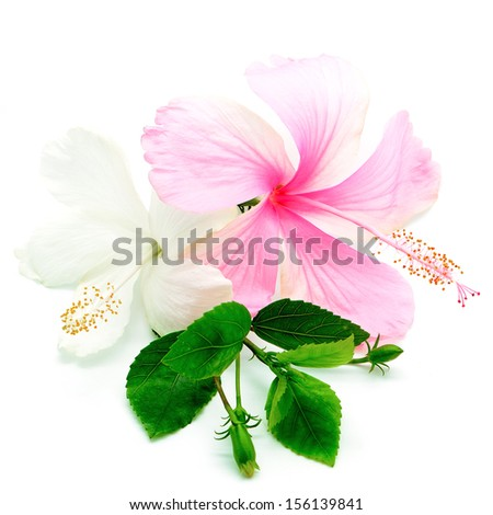 Colorful Pink White Hibiscus Flower Isolated Stock Photo Edit Now