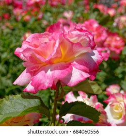 colorful pink white rose flower in the garden, strong bokeh