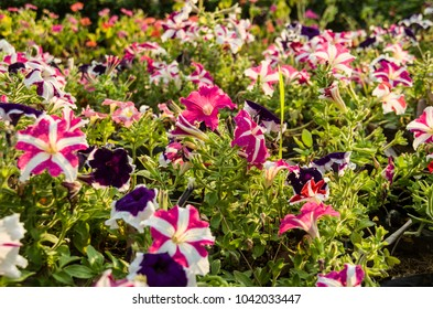 Colorful Of Pink,Purple,Red And White  Petunai Flowers Blooming In a Garden.