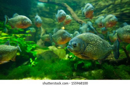 Colorful piranha fish group
