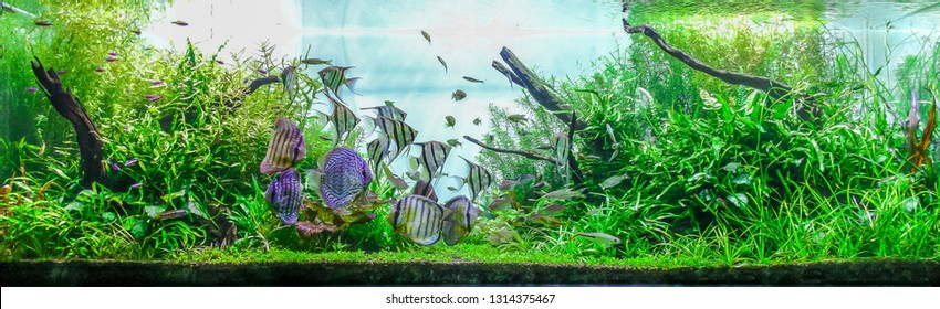 Colorful planted aquarium background with schooling of tropical fish freshwater angelfish, Discus and Tetra