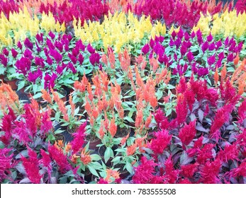 Colorful of plumed cockscomb flower or Celosia argentea