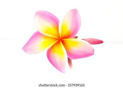 Colorful Plumeria flowers isolated on white background