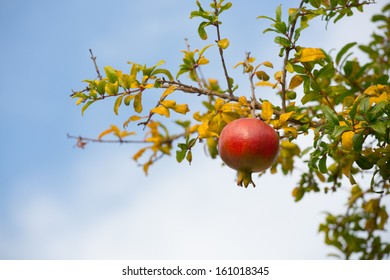 Colorful Pomegranate Fruit on Tree Branch.