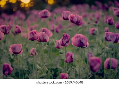 Colorful poppies during the golden hours