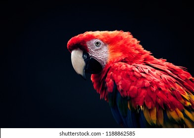 Colorful portrait of Amazon red macaw parrot. Side view of wild ara parrot head on dark blue background. Wildlife and rainforest exotic tropical birds as popular pet breeds. Bird with red feathers.