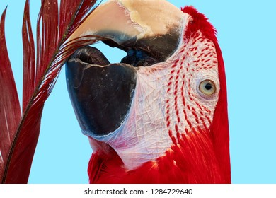 A colorful portrait of a red macaw parrot.  A portrait of Ara macao during self-cleaning. Scarlet macaw (Ara macao) is a large red, yellow, and blue parrot from Central and South America.