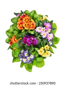 Colorful Primula Flowers, isolated  on white background