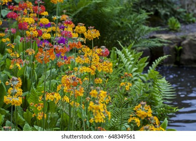 Colorful primulas growing by the pond