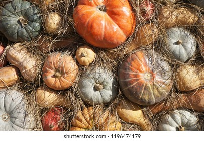Colorful pumkins and hay. Harvest. Top view.  Pumpkins of different varieties and sizes.  Thanksgiving day. Crop.