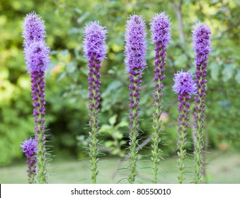 Tall purple flowers images stock photos vectors shutterstock colorful purple blooms of the liatris or gay feather flower mightylinksfo