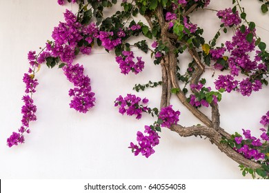 Colorful Purple Bougainvillea Flowers Isolated Against White Wall