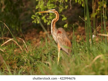 Colorful Purple Heron, Ardea purpurea, standing in reed on the bank of Nile river close to Murchison Falls, Uganda.