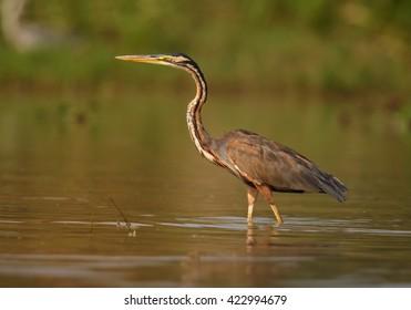 Colorful Purple Heron, Ardea purpurea, fishing in brown water of Nile river near to Murchison Falls, Uganda.