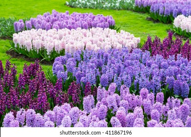 Colorful purple and lilac hyacinth flowers blossom in dutch spring garden Keukenhof, Lisse, Netherlands