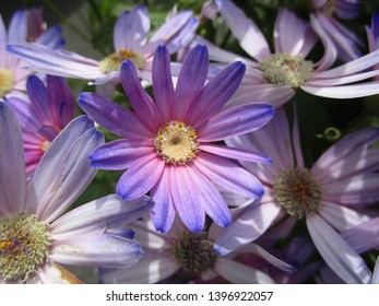 Colorful purple Senetti flowers blooming in May 2019