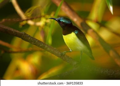 Colorful Purple-rumped Sunbird Leptocoma zeylonica,asian nectar feeding bird in mating plumage, watching female,perched on diagonal twig in early morning,blurred leaves in background,Sri Lanka.