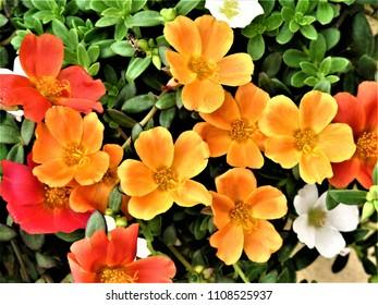 colorful purslane flowers