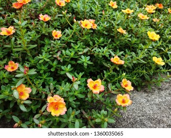 Colorful Purslane flowers in the garden. Moss rose, Portulaca, or Purslane background.