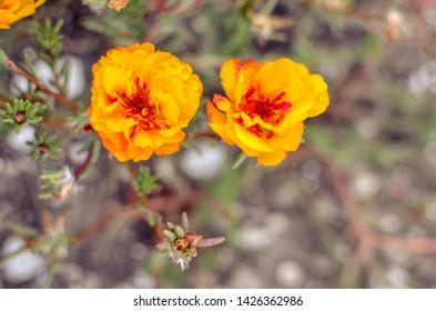 Colorful Purslane flowers in the garden. Orange moss rose, Portulaca, or Purslane background.