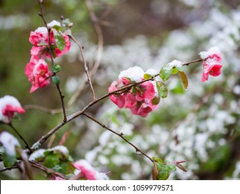 Colorful Quince flowers blooming in early spring with snowfall