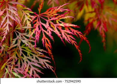 Colorful ragged autumn leaves of the Japanese Maple tree. The filigree foliage turns into beautiful colors of red, green, orange and yellow (Acer palmatum dissectum)