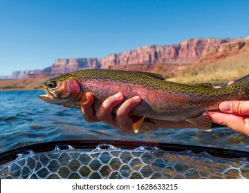 Colorful Rainbow Trout Caught & Release Fly Fishing on the Colorado River in Arizona